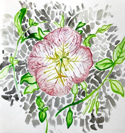 Showy Evening Primrose Sketch